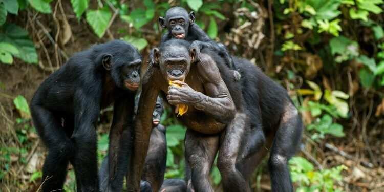 Lepra: Älteste Krankheit der Menschheit bei Schimpansen wiederentdeckt