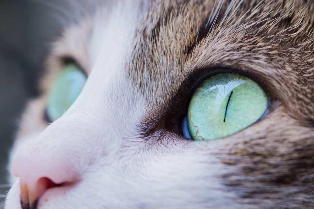 Gefährliche Augenentzündung: So kannst Du Deiner Katze helfen