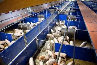 Sachsen: Sorge über Schweinepest wächst
